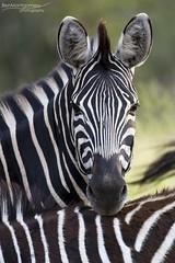 Zebra - Kruger National Park (BenSMontgomery) Tags: zebra kruger national park satara horse s100 stripe black white portrait wildlife safari south africa