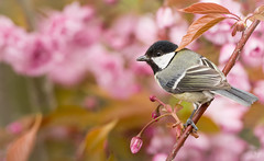 Great tit (female) (Jongejan) Tags: jongejanphotovogels greattit bird animal nature flowers outdoor wildlife