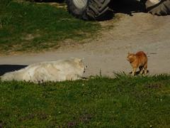 ....not a lot of action yet.... (elisabeth.mcghee) Tags: hund katze kater dog cat weiss rot white red getigert tiere animals unterbibrach oberpfalz upperpalatinate kampf fight