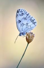 Fría / Cool (eme emepe) Tags: macro marbledwhite mediolutonorteña butterfly mariposa cool frío melanargiagalathea
