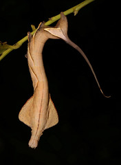 Endromid Moth Caterpillar (Oberthueria sp., Endromidae) (John Horstman (itchydogimages, SINOBUG)) Tags: insect macro china yunnan itchydogimages sinobug entomology canon black moth lepidoptera caterpillar larva endromidae topf25 tweet tumblr