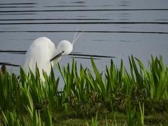 Little Egret (LouisaHocking) Tags: marazion marsh cornwall southwest england wild wildlife british nature bird wildfowl waterfowl littleegret egret preening animalbehaviour