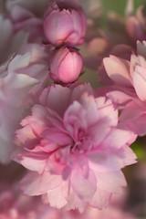 Cherry Blossom (pallab seth) Tags: cherry blossoms flower sakura nature pink ornamentalcherry spring colour macro bokeh dof london nikond7000 tamronaf90mmf28dispam11macro