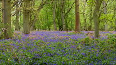 Bluebells (Linton Snapper) Tags: essex quendon woodland woods bluebells wildflower flowers phaseone lintonsnapper tonysmith
