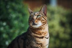 Max (Arnez_) Tags: pets cats bengal portrait animals sony gm 85