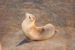 Posing Sea Lion (Jay Costello) Tags: sealions lions quatic mammal brown california sandiego lajolla
