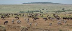 Masai Mara migration (TenPinPhil) Tags: africa 2013 safari philipharris tenpinphil canon kenya animals nature wildlife
