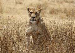 Lion (TenPinPhil) Tags: africa 2013 safari philipharris tenpinphil canon kenya animals nature wildlife