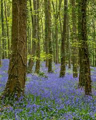 Blue carpet (Donard850) Tags: countydown narrowwaterforest northernireland bluecarpet bluebells spring trees wood