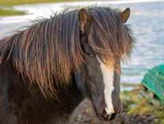 Icelandic horse at Garður, Reykjanes, Iceland (thorrisig) Tags: 25112019 dýr fuglar hross hestur spendýr horses horse icelandichorses icelandichorse garður mammals animals sigurgeirsson sigurgeirssonþorfinnur dorres iceland ísland island thorrisig thorfinnursigurgeirsson thorri thorfinnur þorrisig þorfinnur þorri þorfinnursigurgeirsson