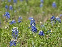 P1010214 -1R (hyphy2008) Tags: brenham texas wildflowers bluebonnets