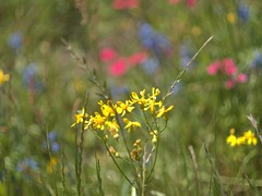 P1010202 -1R (hyphy2008) Tags: brenham texas wildflowers bluebonnets