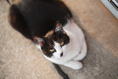 猫 (fumi*23) Tags: ilce7rm3 sony sel85f18 85mm fe85mmf18 a7r3 animal katze gato neko cat chat emount 猫 ねこ ソニー
