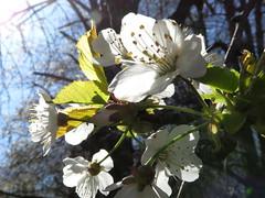 IMG_0072x (gzammarchi) Tags: italia paesaggio campagna natura montagna palazzuolosulseniofi lafaggiola valicodelparetaio fiore ciliegio