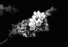 Cherry blossom (Sibeal's world) Tags: flora flower closeup nature branch tree cherrytree kirschbaum kirschblüte cherryblossom cherry