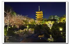 _DSC1404-1 (ychlin2005) Tags: 日本 日本國 夜櫻 東寺 櫻花