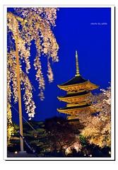 _DSC1397-1 (ychlin2005) Tags: 日本 日本國 夜櫻 東寺 櫻花