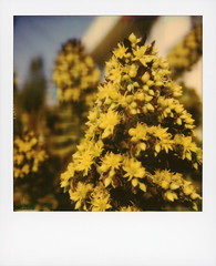 Hollywood Spring - Aeonium Flowers 1 (tobysx70) Tags: polaroid originals color sx70 instant film sx70sonar hollywood spring aeonium flowers beachwood canyon drive hills los angeles la california ca yellow flower blossom succulent plant crassulaceae bokeh toby hancock photography