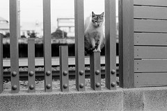 Leica_m_BW_63272_Cat_Pan400 (OPTIK AXIS) Tags: blackandwhite ilfordpan400 leicacamera leica mp 白黑 黑白 garylevel cat 貓 猫 ねこ ライカ rf mp85 カメラ camera 135 写真 底片 膠卷 taiwan 台灣 ライカmレンズ 単焦点レンズ フィルム 銀塩 film analoguephotography monochromatic blackandwhitefilm ノクティルックスm モノクロ