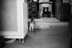 Leica_m_BW_63271_Cat_Pan400 (OPTIK AXIS) Tags: blackandwhite ilfordpan400 leicacamera leica mp 白黑 黑白 garylevel cat 貓 猫 ねこ ライカ rf mp85 カメラ camera 135 写真 底片 膠卷 taiwan 台灣 ライカmレンズ 単焦点レンズ フィルム 銀塩 film analoguephotography monochromatic blackandwhitefilm ノクティルックスm モノクロ