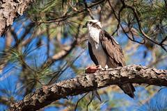 Osprey and Fish (Brad Prudhon) Tags: virgina lanexa edallen'scampground fish bird raptor osprey