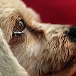 Dog eyes thumbnail