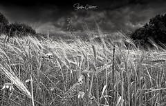 Field (* landscape photographer *) Tags: field campi landscape paesaggio nature natura sky cloud tree world europe