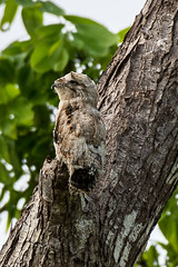 Another cryptic creature (Fred Roe) Tags: nikond7100 nikonafsnikkor200500mm156eed nature naturephotography national wildlife wildlifephotography animals birds birding birdwatching birdwatcher potoo commonpotoo nyctibiusgriseus colors outside flickr feet panama
