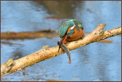 Kingfisher (image 1 of 3) (Full Moon Images) Tags: suffolk wildlife trust nature reserve bird fish kingfisher lackford lakes