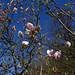 Magnolienblüte im Onsernonetal bei Niva