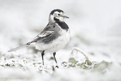 Wagtail in winter (diana.enroute) Tags: wildlife wild wildlifephotography nature natur outdoors animal tier animalphotography animalportrait tierfotografie tierportrait bird aves vogel birdphotography birdportrait birding birdwatch birdwatching spotting vogelbeobachtung ornithologie ornithology passerinebird sperlingsvogel passeriformes singvogel passeri passeres singingbird songbird motacillidae motacilla wagtail stelzen bachstelze motacillayarrelli piedwagtail nottingham nottinghamshire greatbritain unitedkingdom winter snow frost ground
