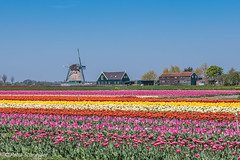 Happy Easter to all my Flickr friends and followers ! (Petra S photography) Tags: tulips tulipfields netherlands paysbas niederlande tulpen tulpenfelder windmühle spring windmill moulinàvent flowers coloured nederlands