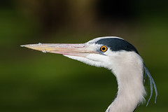 Portrait of grey heron. (Frederik0711) Tags: greyheron greyherons heron herons bird birds birder birding birdphotography nature naturephotography natureandnothingelse canon7dmarkii canon7dmark2 7dii 7d2 7dmarkii 7dmark2 sigma sigmalens sigmalenses sigma150600 sigma150600c sigma150600563dghsmosc sigma150600mm563dghsmosc sigma150600mm 150600 150600mm 150600mmc
