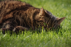 One of those days .... (FocusPocus Photography) Tags: cleo katze cat tabby rasen lawn gras grass müde tired sleepy faul lazy tier animal haustier pet