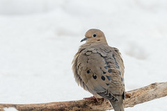 Mourning Dove-41208.jpg (Mully410 * Images) Tags: birdwatching spring winter backyard bird birds birding mourningdove dove birder snow