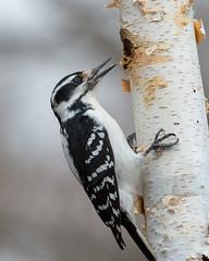 Hairy Woodpecker-41264.jpg (Mully410 * Images) Tags: birdwatching eating hairywoodpecker birch backyard woodpecker bird birds birding birder peanutbutter