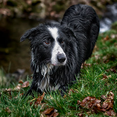 Rocky waiting for the ball (zeon7) Tags: cheshire goytvalley grass collie bordercollie dog wet muzzel leaves green waiting