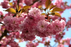 Frühling 2019 (HW062) Tags: blüte frühling kirsche