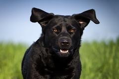 Happy Easter (uwe.kast) Tags: labrador labradorretriever labradorredriver bichou dog hund haustier black lumix panasonic g9