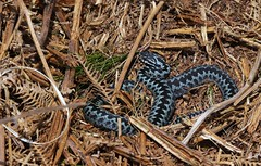 Blue Adder after sloughing! (farrertracy) Tags: adder viperaberus blueadder spring reptile brown black snake sloughing moorland sunshine bracken grey white beautiful stunningsnake blue