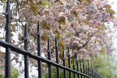 Happy Blossom Fence Friday (jillyspoon) Tags: 50mmprime niftyfifty sigmamc11 sonya7iii bokeh pink wigtownshire wigtown scotland dumfriesandgalloway happyfencefriday hff fencefriday railings fence blossom