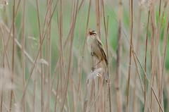DSC_2541 (Clickingnan) Tags: somersetlevels rspb hamwall avalon glastonbury birds marshes sedgewarbler
