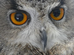Here's looking at you (Ivan) Tags: owl eagle eyes beak face rodbaston animal zone world trust