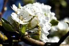 Birnenblüten (r.wacknitz) Tags: obstblüte frühling ostern makro macromondays nikond3400 tamron90macro nikcollection niedersachsen nordharz