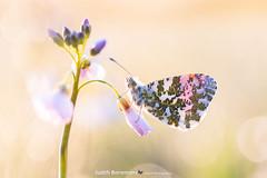 Oranjetipje / Orangetip (Judith_Borremans) Tags: vlinder butterfly oranjetipje orangetip backlight sunrise bokeh macrofotografie macro