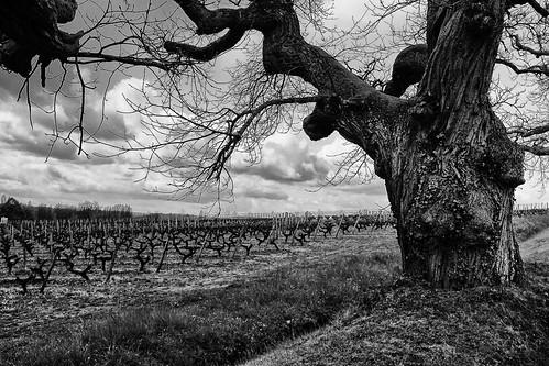 Le vieil arbre veille sur la vigne