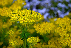Euphorbia (Jocelyn777) Tags: plants flowers bokeh macro yellow euphorbia gardens nature outdoor