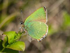 Green Hairstreak (Maria-H) Tags: greenhairstreak callophrysrubi butterfly bilberry derbyshire highpeak peakdistrict uk olympus omdem1markii panasonic 100400