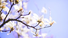 Magnolia (Nathalie_Désirée) Tags: magnolia tree plant blossom flower soft fragile white branch park hohenheim plieningen sonyα sonyalpha7r2 sonyalpha7rii sonyαmo sonyamo canon50mm nature spring springing garden sky skyward bluesky goodweather sun sunshine springtime