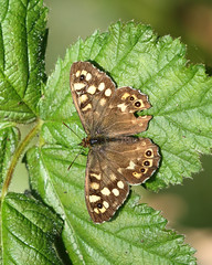 Speckled Wood (Treflyn) Tags: speckled wood butterflies butterfly out force back garden easter weekend lovely warm spring weather earley reading berkshire uk